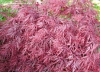 Red Dragon Maple Tree Sale Omaha & Elkhorn, NE