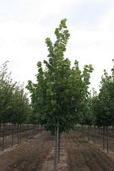 Redmond Linden Tree Omaha & Elkhorn
