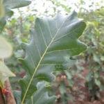 Regal Prince Oak