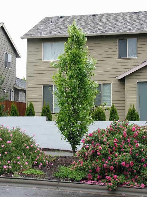 Regal Prince Oak Tree Sale