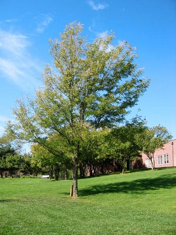 Shademaster Locust Tree