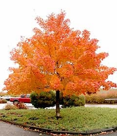 Shantung Maple Tree