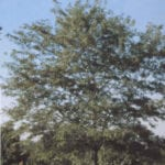 Skyline Locust