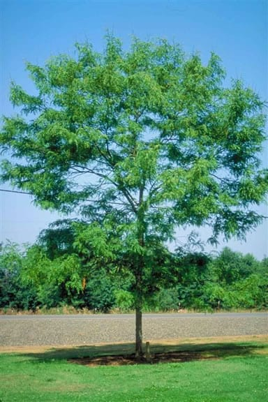 Skyline Locust Tree