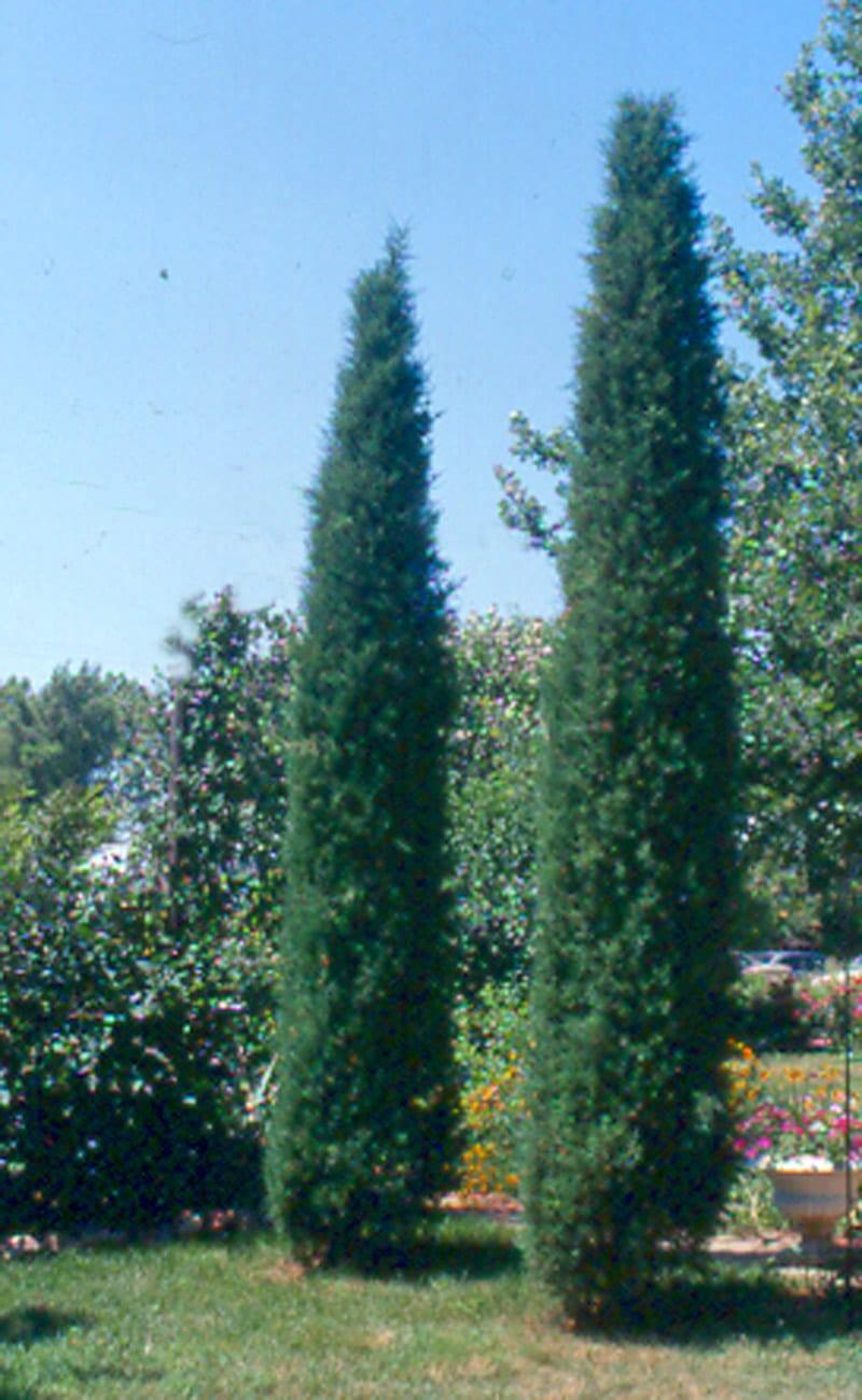 Taylor Juniper Tree