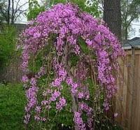 Weeping Redbud (lavender twist)