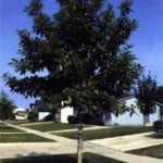 White Swamp Oak