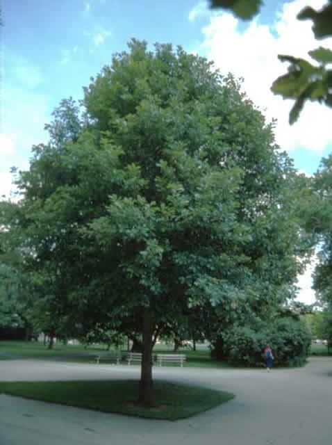 White Swamp Oak Tree