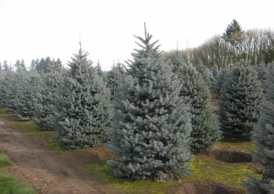 Baby Blue Eyes Spruce Trees