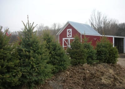 Evergreens at Tree Farm