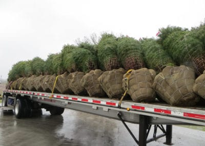Evergreens Ready for Transport