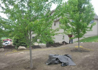 Planted Maples