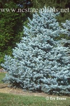 Baby Blue Eye Spruce