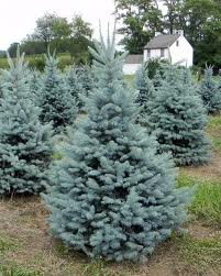 Backeri Spruce