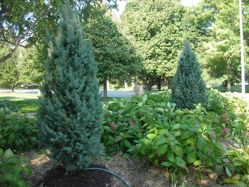 Columnar Blue Spruce Tree
