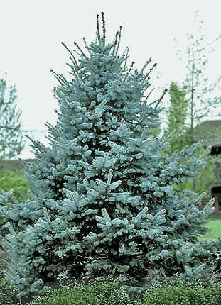 Fat Albert Spruce Tree Sale