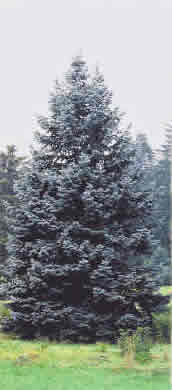 Hoopsii Spruce Tree Sale