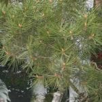 Lacebark Pine Tree on Sale