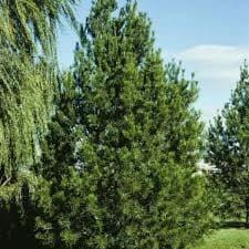 Lacebark Pine Tree