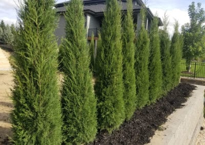 Row of Taylor Junipers