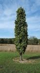 Kindred Spirt Oak