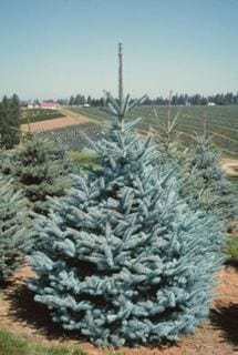 Whiskey Blue Hills Spruce